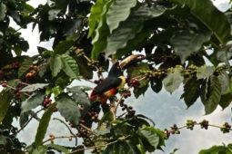 activitie_birdwatching_toucan_coffee_casas_viejas_minca